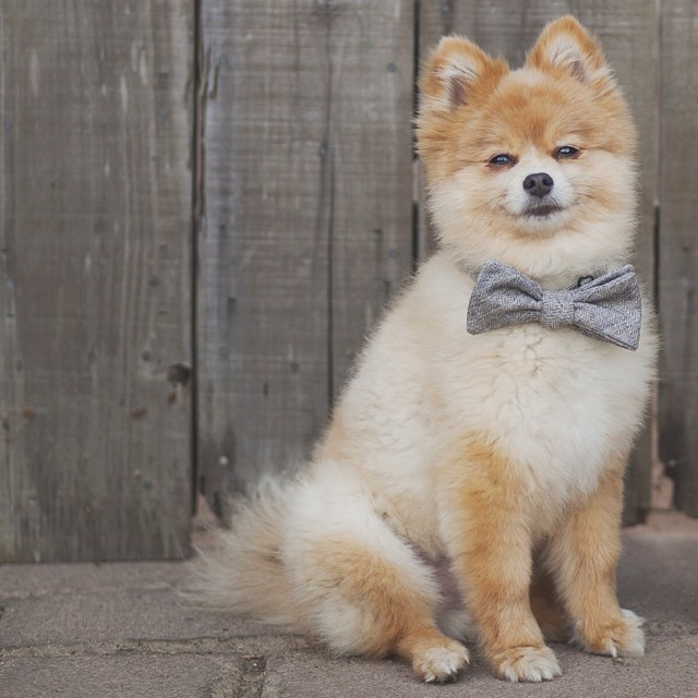 Happy 4th birthday to this dashing gentleman! Someone's going to get a lot of treats today. #clintonthepom