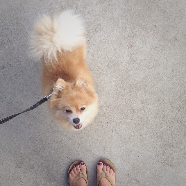 Back to: Cali. Daily walks with this furry gentleman #clintonthepom. Flip flop tans.