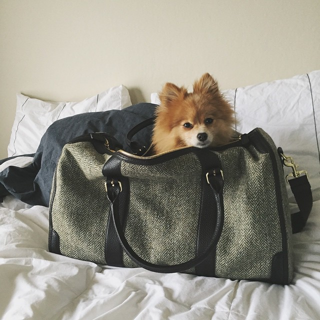 New weekender bag is dog tested & #clintonthepom approved. @liketoknow.it www.liketk.it/H9Dy #liketkit